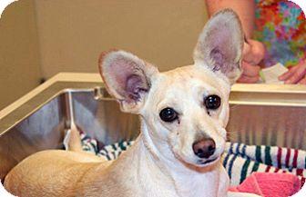 Chihuahua Mix Dog for adoption in Wildomar, California - Sadie