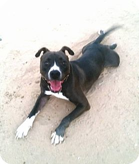 Pit Bull Terrier Mix Dog for adoption in California City, California - Bokuden