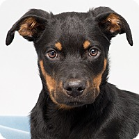 Adopt A Pet :: Henry - Westfield, NY