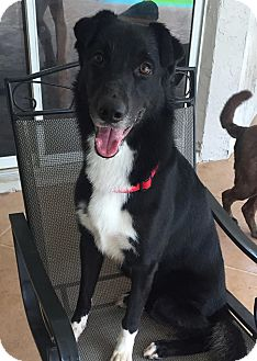 Border Collie/Labrador Retriever Mix Dog for adoption in Pinellas Park, Florida - Perry