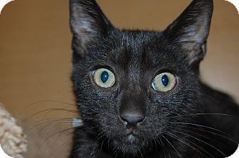 Domestic Shorthair Kitten for adoption in Whittier, California - Joe Joe