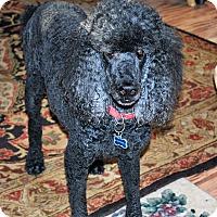 Adopt A Pet :: Yogi - Bay City, MI