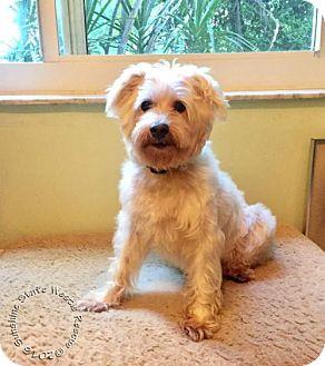 Westie, West Highland White Terrier/Standard Schnauzer Mix Dog for adoption in Ponte Vedra Beach, Florida - Belle