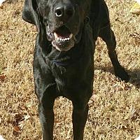 Great Dane/Labrador Retriever Mix Dog for adoption in Newcastle, Oklahoma - Saint Nicholas