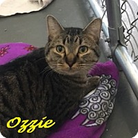 Adopt A Pet :: Ozzie - Chisholm, MN