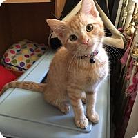 American Shorthair Kitten for adoption in San Jose, California - Tomiko