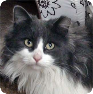 Turkish Angora Cat for adoption in Santa Fe, New Mexico - Leona 2