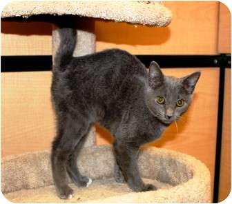 Domestic Shorthair Cat for adoption in Nolensville, Tennessee - Sebastian