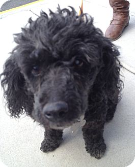 Poodle (Miniature) Mix Dog for adoption in Richmond, Virginia - Spec