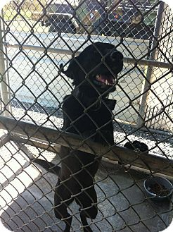 Labrador Retriever/Labrador Retriever Mix Dog for adoption in Donaldsonville, Louisiana - Lady