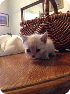 Siamese Kitten for adoption in Fountain Hills, Arizona - NEDDY