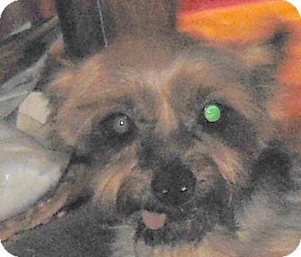 Yorkie, Yorkshire Terrier Dog for adoption in MINNEAPOLIS, Kansas - JT