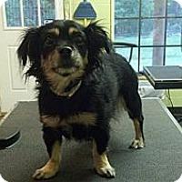 Adopt A Pet :: Stefie - Brattleboro, VT