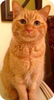 Domestic Shorthair Cat for adoption in Palatine, Illinois - Muffett