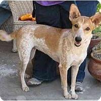 Adopt A Pet :: Sunshine - Phoenix, AZ