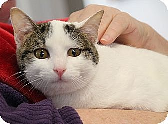 Domestic Shorthair Cat for adoption in Chattanooga, Tennessee - Garbo