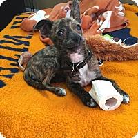 Adopt A Pet :: Mandy - Santa Monica, CA