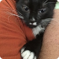 Domestic Shorthair Kitten for adoption in Tampa, Florida - Shea