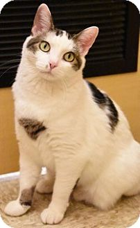 Domestic Shorthair Cat for adoption in Hillside, Illinois - Noelle- $65 - WAITING 10 MTHS