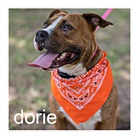 American Pit Bull Terrier/Staffordshire Bull Terrier Mix Dog for adoption in Dallas, Texas - Dorie