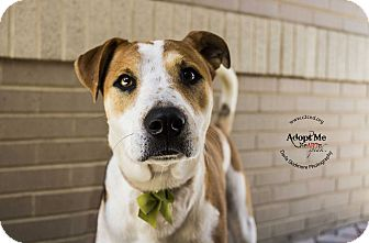 Hound (Unknown Type)/Pit Bull Terrier Mix Dog for adoption in Mooresville, North Carolina - Maybelline (Cosmetics Litter)