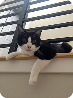 Domestic Shorthair Cat for adoption in Philadelphia, Pennsylvania - Betty