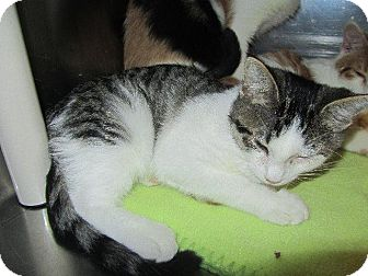 Domestic Shorthair Kitten for adoption in Grand Junction, Colorado - Verona