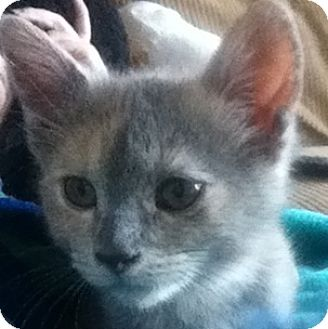 Domestic Shorthair Kitten for adoption in Toronto, Ontario - Macchiato