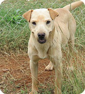 Labrador Retriever Mix Dog for adoption in Marble Falls, Texas - Nutmeg