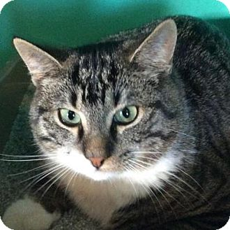 Domestic Shorthair Cat for adoption in Breinigsville, Pennsylvania - Brando