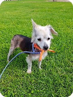 Chihuahua Dog for adoption in Los Angeles, California - Jess