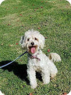 Maltese/Poodle (Miniature) Mix Dog for adoption in Los Angeles, California - Gidget