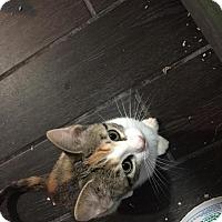 Adopt A Pet :: Blanche - Chicago, IL