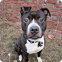 Adopt A Pet :: PUPITO - Boston, MA