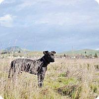 Adopt A Pet :: Bubba - Livermore, CA