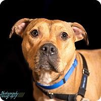 Adopt A Pet :: Zuri - foster/adopt - San Francisco, CA