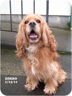 Cocker Spaniel Dog for adoption in Tacoma, Washington - Zorro