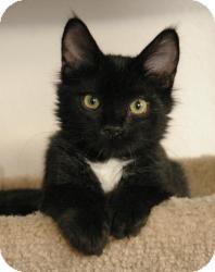 Domestic Shorthair Cat for adoption in Sacramento, California - Cooper