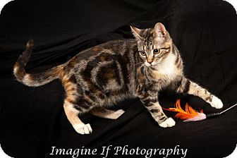 Domestic Shorthair Cat for adoption in Edmond, Oklahoma - Foxglove