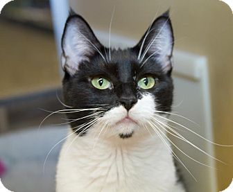 Domestic Shorthair Cat for adoption in Irvine, California - Laurelle