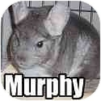 Adopt A Pet :: Murphy - Virginia Beach, VA
