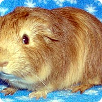 Adopt A Pet :: Punkin Pie - Steger, IL