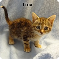 Adopt A Pet :: Tina - Bentonville, AR