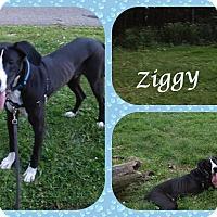 Adopt A Pet :: Ziggy - DOVER, OH