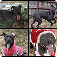 American Pit Bull Terrier Mix Dog for adoption in Columbus, Mississippi - Evie