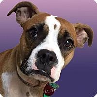 Adopt A Pet :: Luci - Woodinville, WA