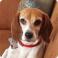 Adopt A Pet :: Andrea - adorable - Houston, TX
