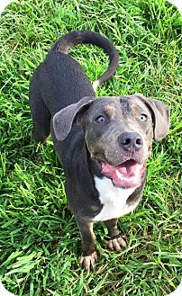 Weimaraner/Doberman Pinscher Mix Dog for adoption in Russellville, Kentucky - Pretzel