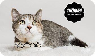 Domestic Shorthair Cat for adoption in Wyandotte, Michigan - Thomas