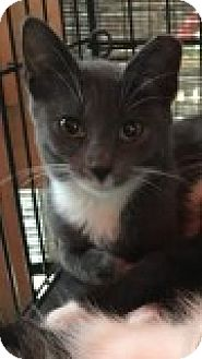Domestic Mediumhair Kitten for adoption in Great Neck, New York - Avery
